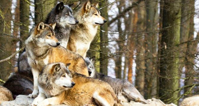 Podczas burzy wilki uratowały ciężarną kobietę i stały się jej położnymi