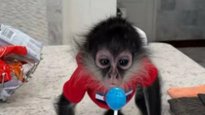 Małpa z przyjemnością je lizaka – to jest takie urocze. Wideo