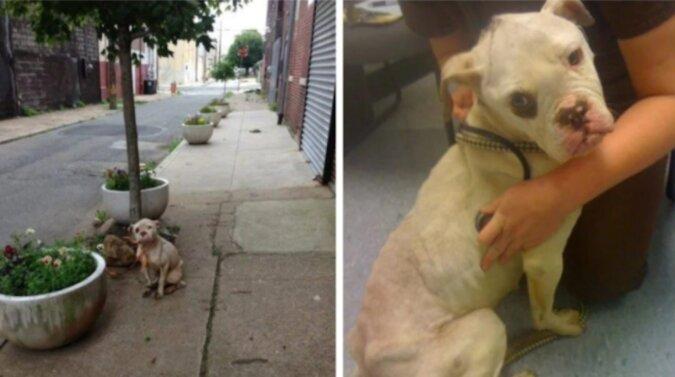Listonosz ratuje rannego psa, który został porzucony i przywiązany do drzewa