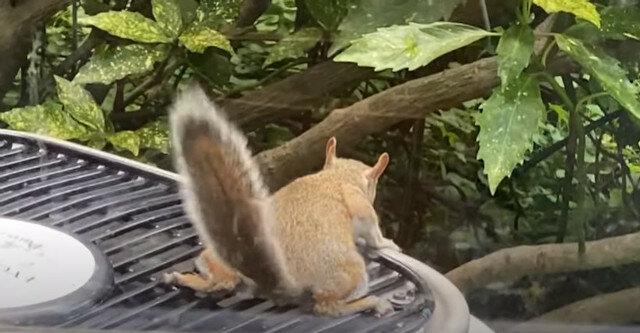Wideo: wiewiórka wymyśliła niezwykły sposób na ochłodzenie się