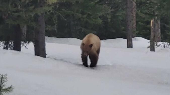 Amerykanin odchodził od niedźwiedzia prawie kilometr i namawiał go, żeby go nie jadł. Wideo
