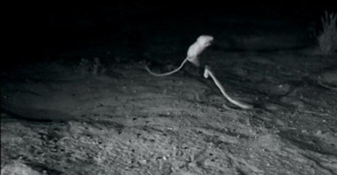 Chcesz żyć, potraf skakać: fantastyczna reakcja na rzut węża. Wideo