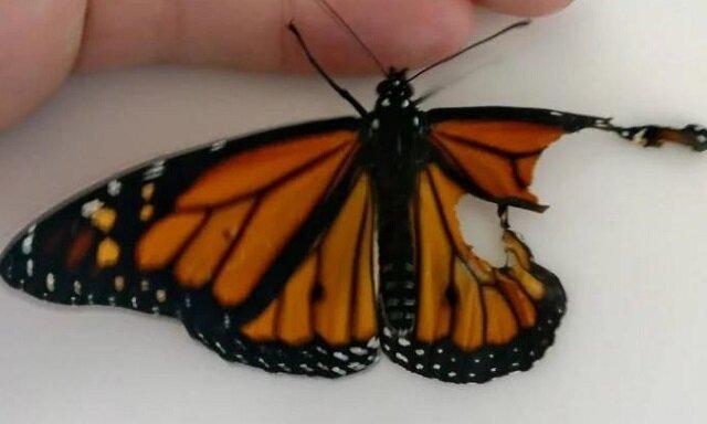 Krawcowa przyszyła odcięte skrzydło motyla. Rezultat jest imponujący