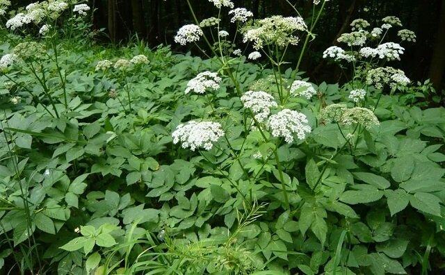 Zobacz dlaczego niektórzy sadzą podagrycznik w swoim ogrodzie