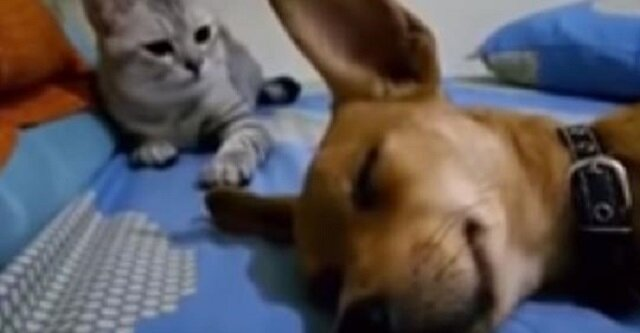 Pies zaczął głośno pierdzieć przez sen, reakcja kota rozbawiła już miliony internautów