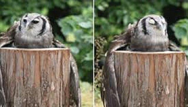 Internauci nie mogą odkryć sekretu sowy przytulającej kłodę