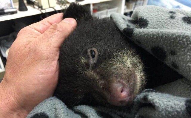 Ratując umierającego niedźwiadka, mężczyzna ryzykował zostać zabity przez niedźwiedzicę lub trafić do więzienia