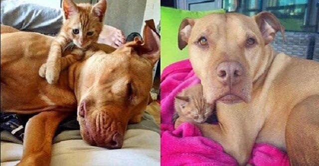 Uratowany Pit Bull i kotka zostają najlepszymi przyjaciółmi. Zobaczcie to słodkie wideo