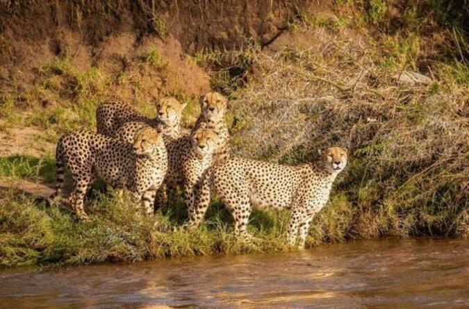 Szczęśliwym fotografom udało się sfotografować, jak 5 gepardów przepłynęło przez burzliwą rzekę, w której znajdują się krokodyle