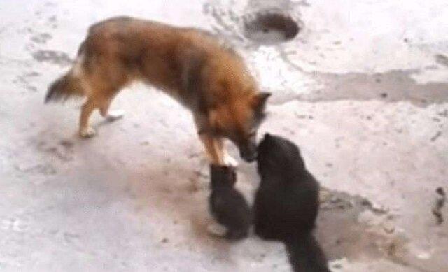 Kocia mama przyprowadziła swoje kocięta do zaprzyjaźnionego psa. Trudno sobie wyobrazić bardziej wzruszające spotkanie