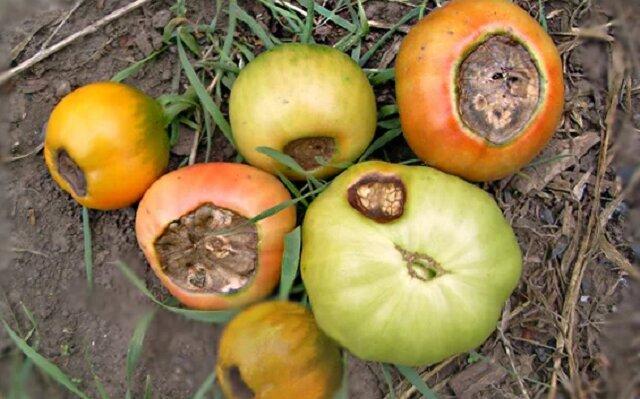 O czym świadczą obrażenia na pomidora?
