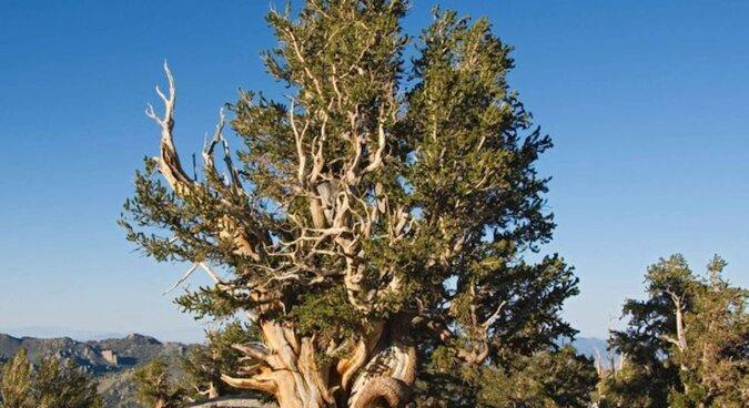 Sosna, która ma 4852 lata. Ale to nie jest najstarsze drzewo na naszej planecie