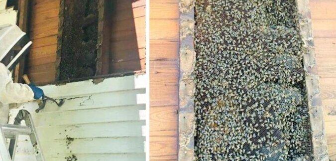 Pszczelarz opowiedział, jak usunął ul z pszczołami ze ścian domu mieszkalnego, które mieszkały tam od około 50 lat