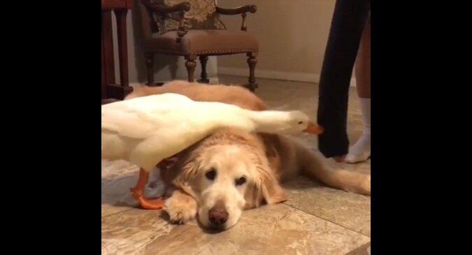 Zazdrosna kaczka nie pozwoli właścicielowi pogłaskać psa. Śmieszne wideo